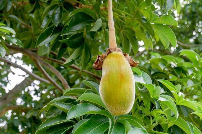Baobab Vruchten